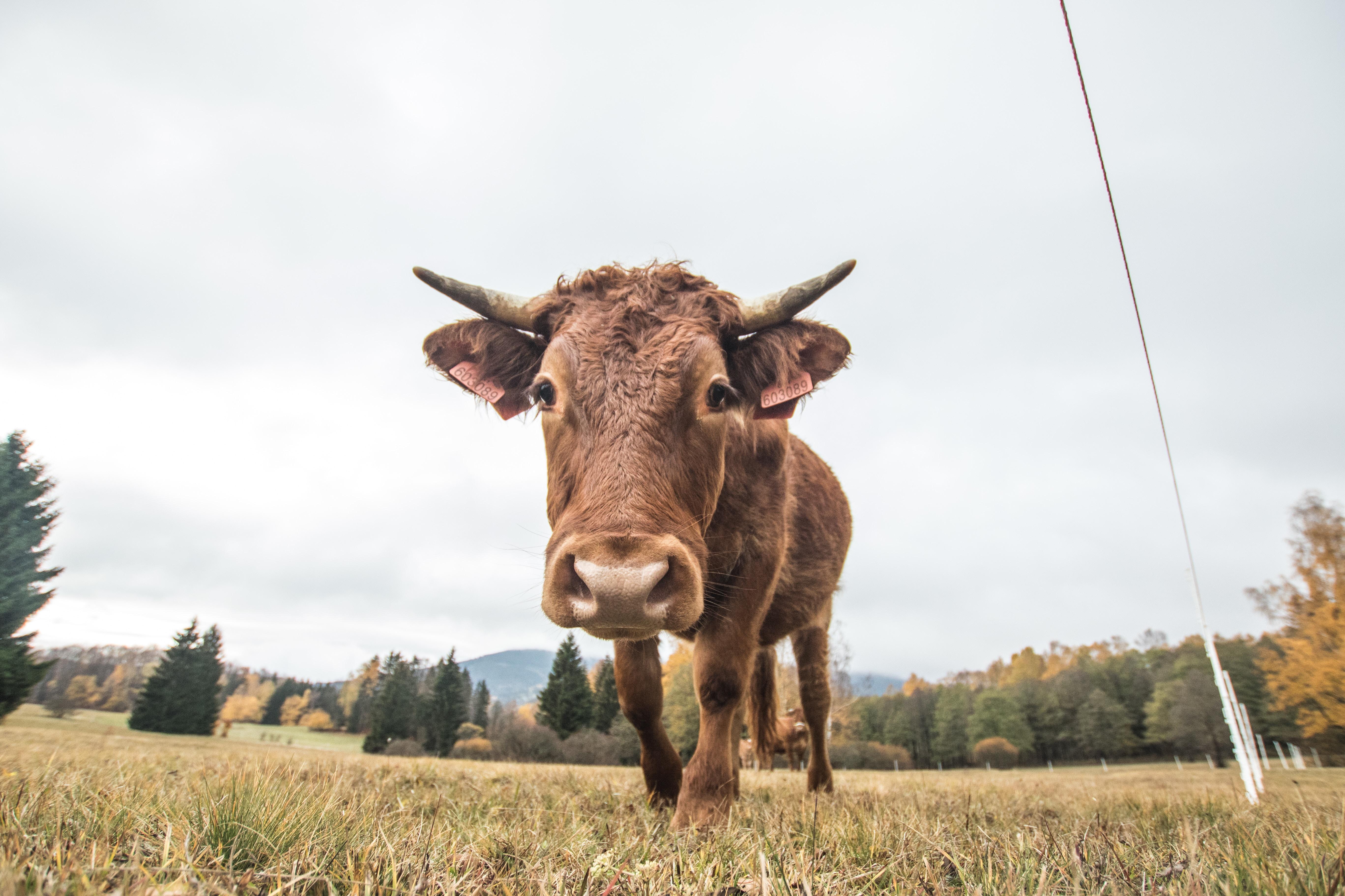 The Unhurried Ox